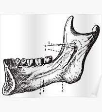 Human Anatomy Drawing: Jaw Bone Teeth Poster