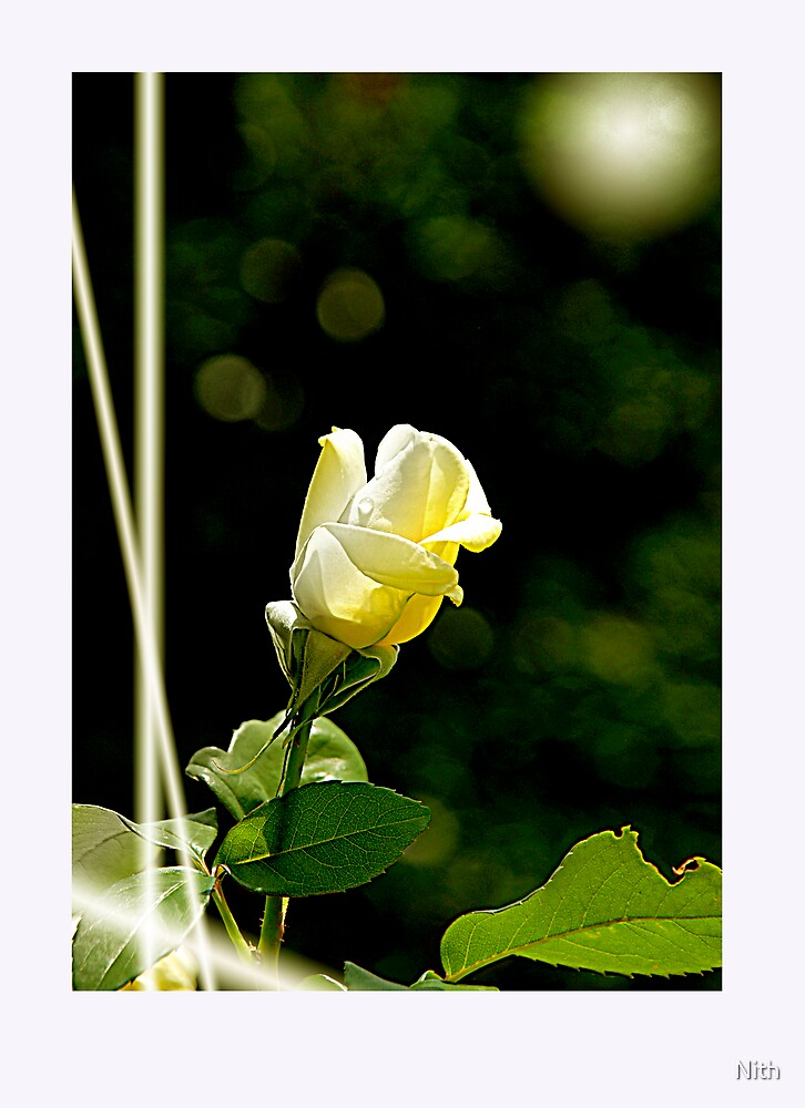 Rose by Nith