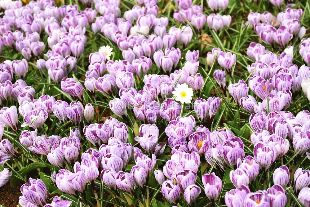 Daisy among crocuses by MilaArtandcraft