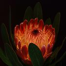 Glowing Protea by KeepsakesPhotography Michael Rowley