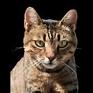 Portrait Of A Cute Tabby Cat With Direct Eye Contact Vector by taiche