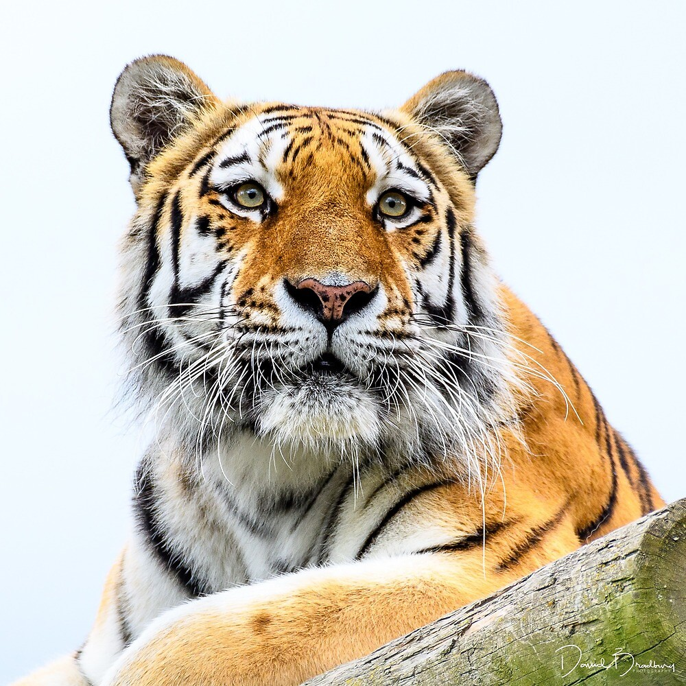 Amur Tiger by David Bradbury