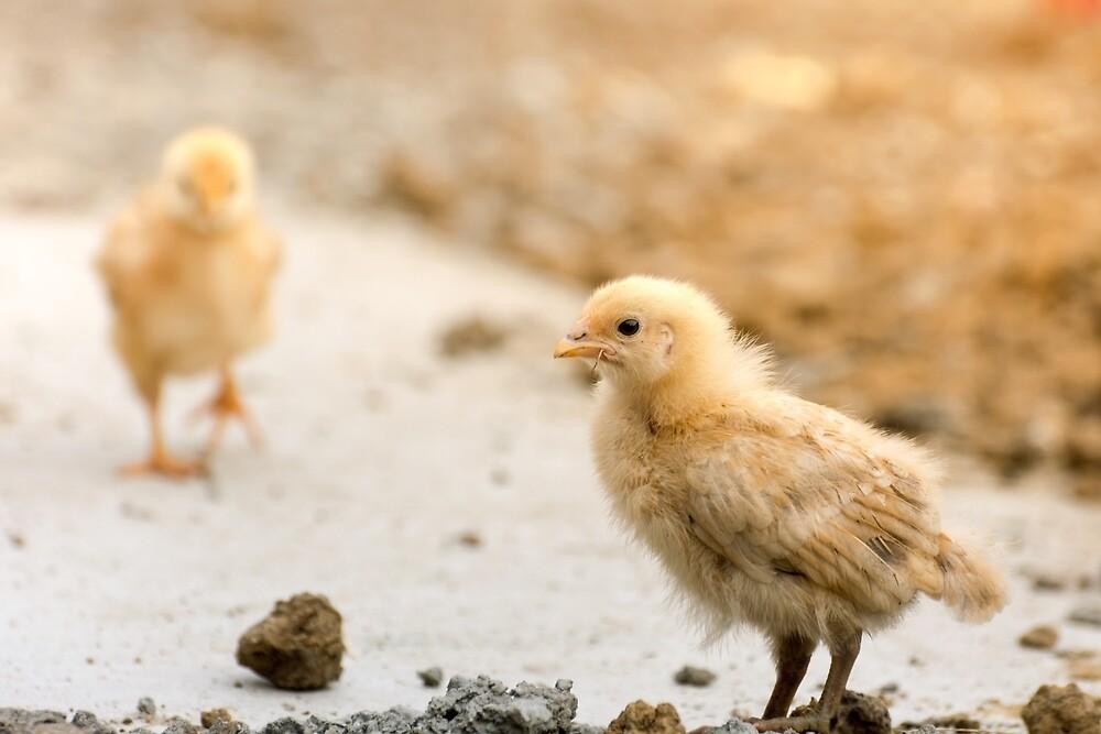Little chicken by Olimpia Negura