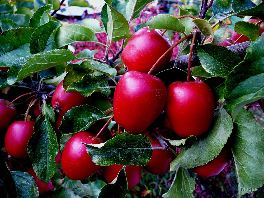 Crabapples by Magee