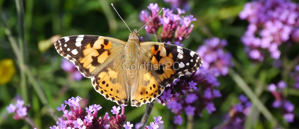 Butterfly & Verbena by Goldfish20