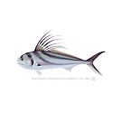 Roosterfish (Nematistius pectoralis) by StickFigureFish
