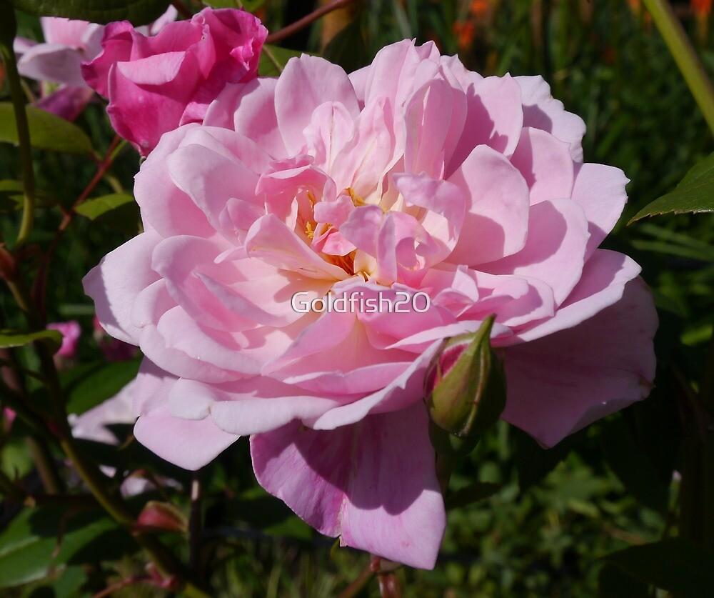 Pink Rose by Goldfish20