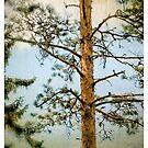 Pine In Sweden by Barry W  King