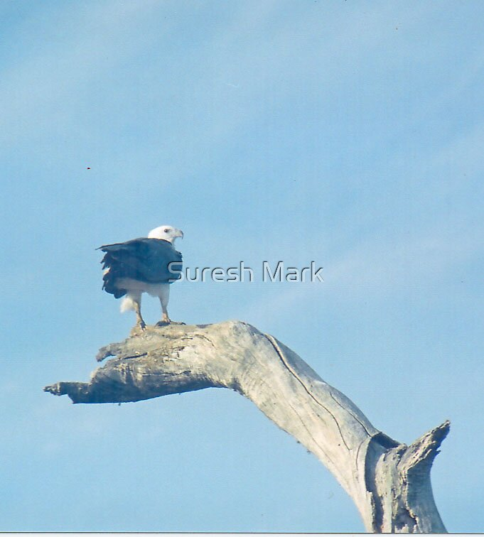 Nature - Eagle a long distance by Suresh Mark
