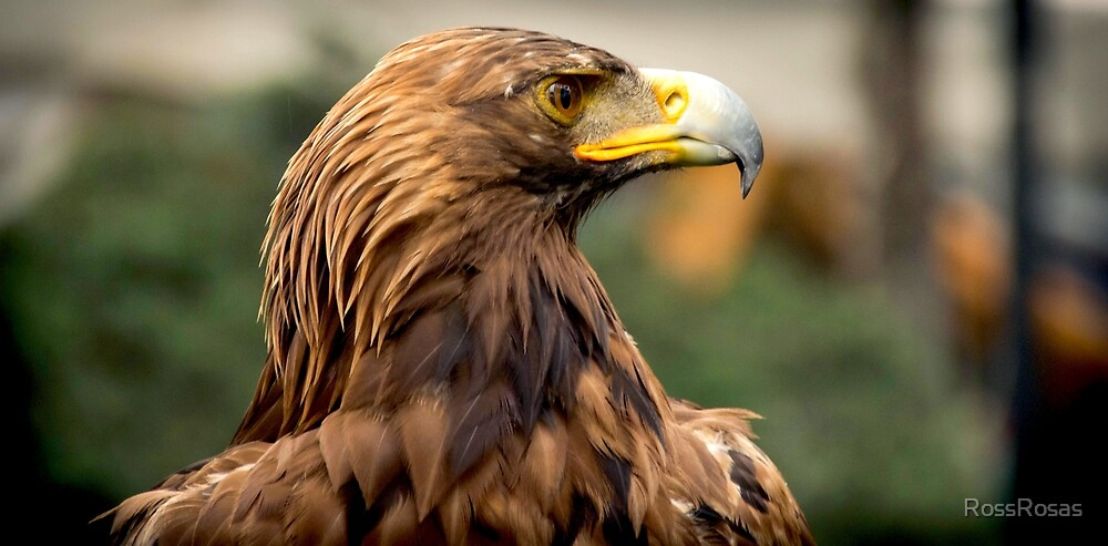 Eagle by RossRosas