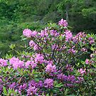 Catawba Rhododendron by Gary L   Suddath