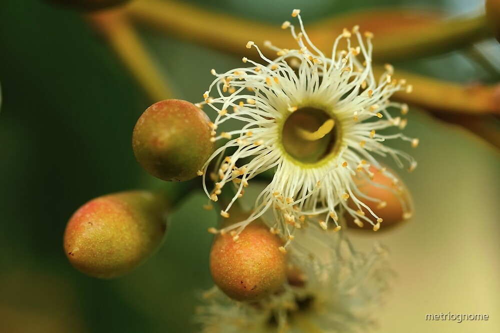 Karri Flower and Buds by metriognome
