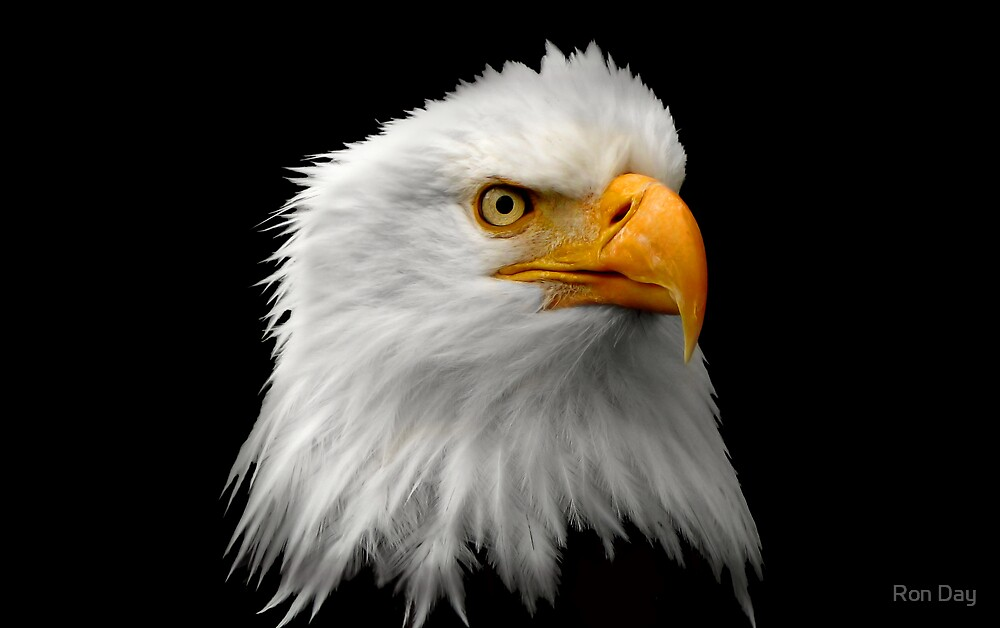 Eagle Portrait by Ron Day