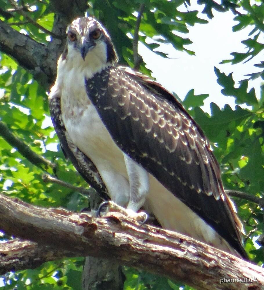 Osprey Mattawoman Creek Maryland  by pbarnes1014