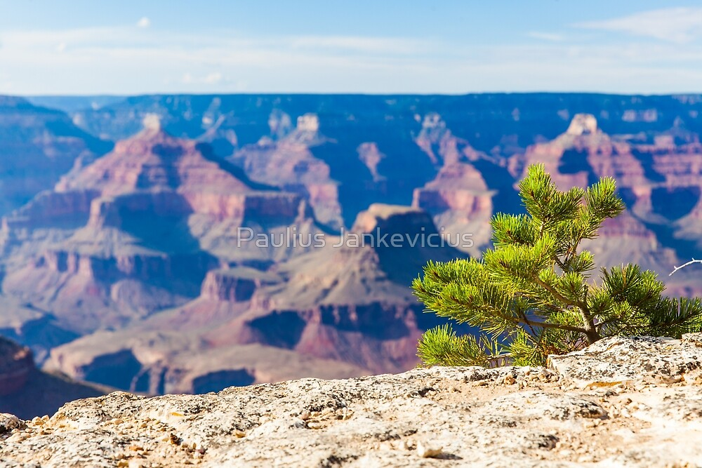 Grand Canyon little tree by Paulius Jankevicius