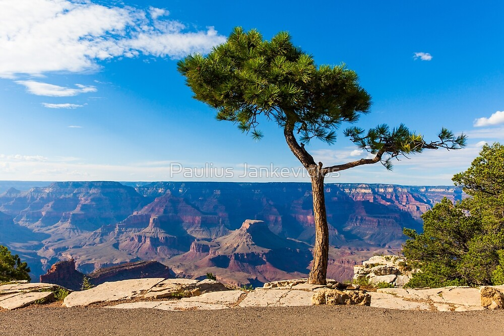 Grand Canyon Pine Tree by Paulius Jankevicius