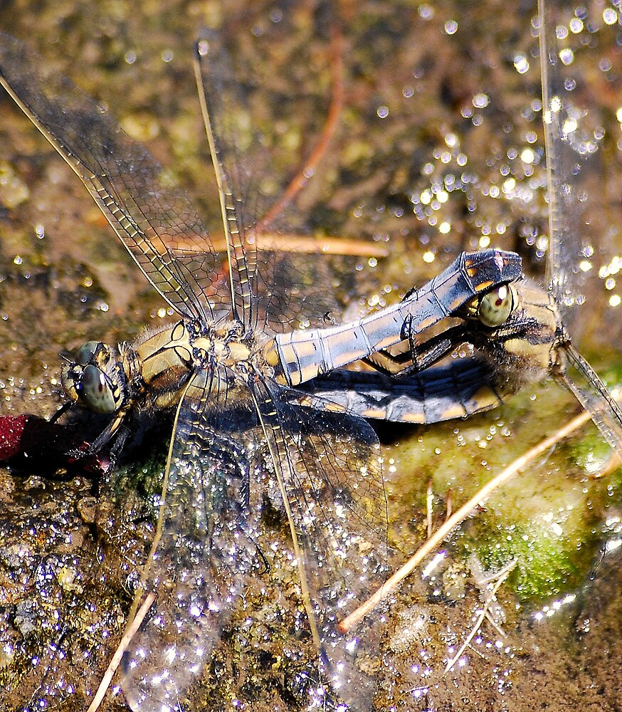a mating pair of dragon flys  by cool3water