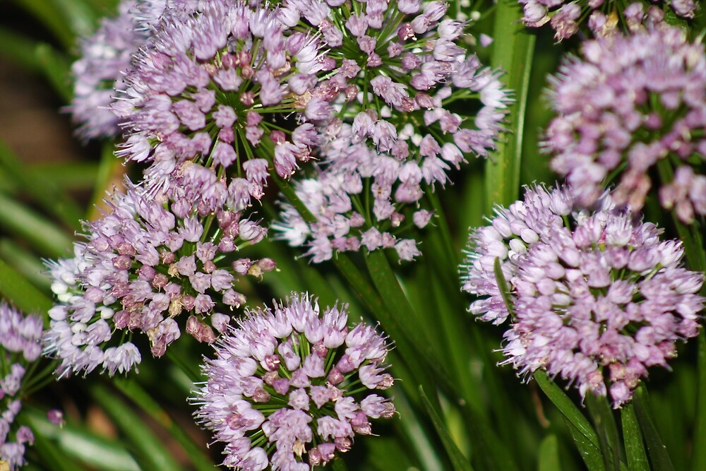 Allium Up Close by mackography