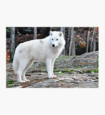 Arctic Wolf - Québèc, Canada Photographic Print