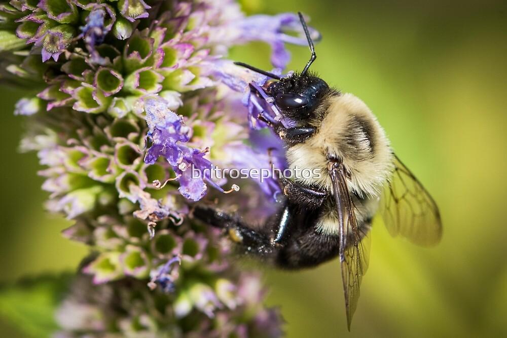 Bumblebee by britrosephotos