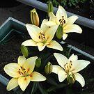 Delicate Creamy gelbe Lily Blüten und Knospen von BlueMoonRose