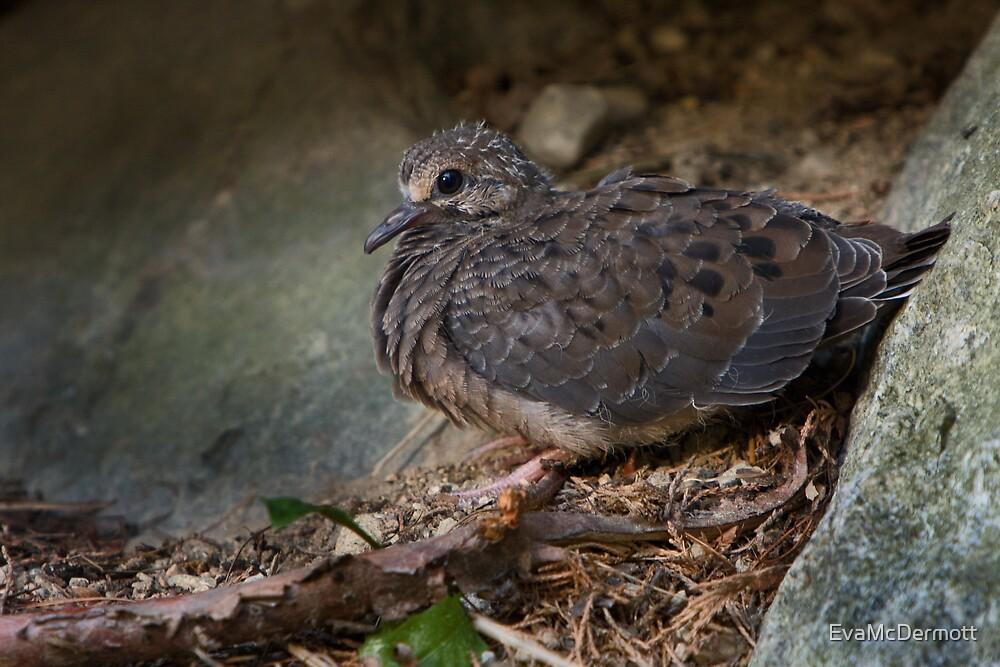 Mourning Dove Babe by EvaMcDermott