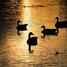 Geese at Sunset by BrianDawson