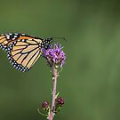 Monarch 2017-6 by Thomas Young