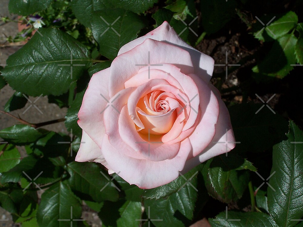 A sweet paleness .. a pink rose by LoneAngel