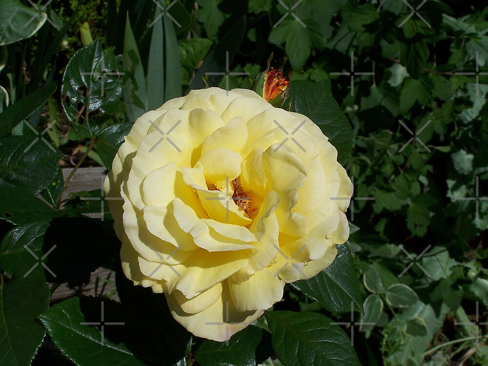 Mellow yellow rose by LoneAngel
