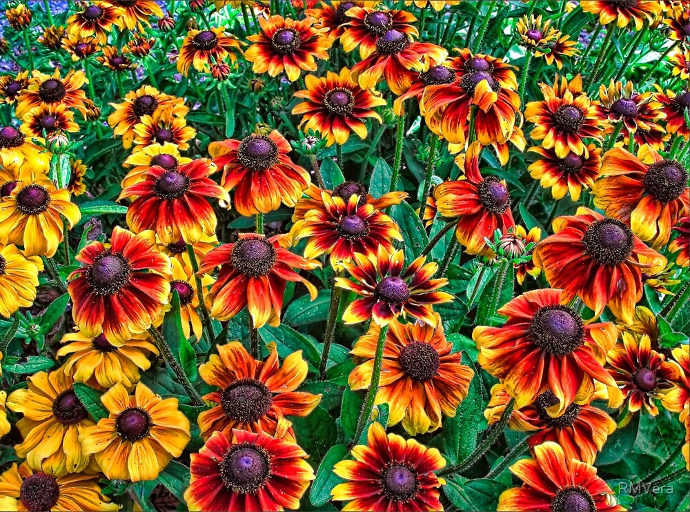 Yellow and Red BlackEyed Susan Flowers by RMVera  Redbubble