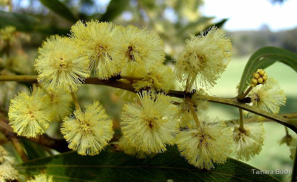 acacias by Tamara Bush