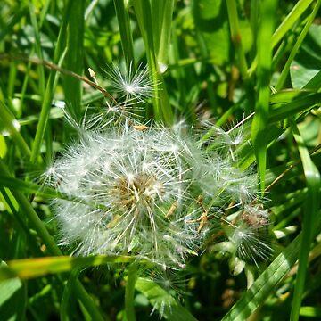 Dandelion by mauriandbrio