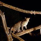 Leopard by Justin020