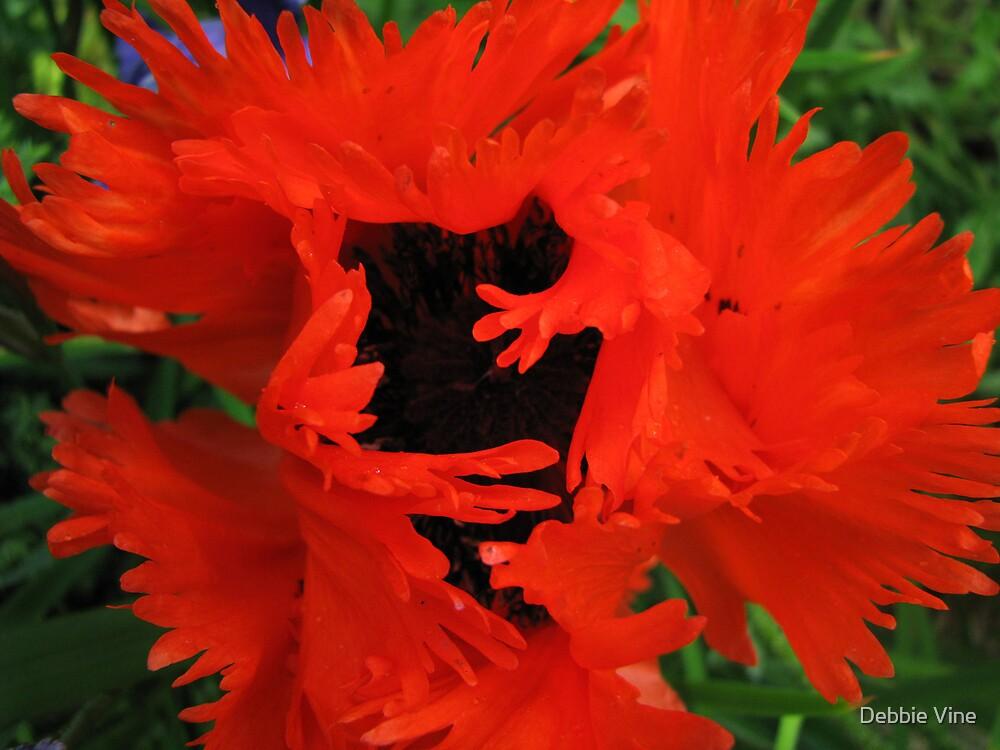 Poppy by Debbie Vine