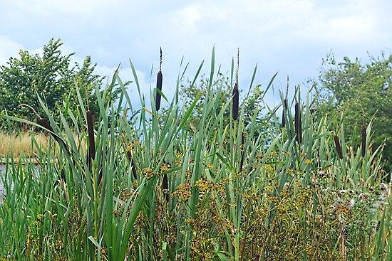 Bullrushes at Wetlands.....Seaton Devon UK by lynn carter