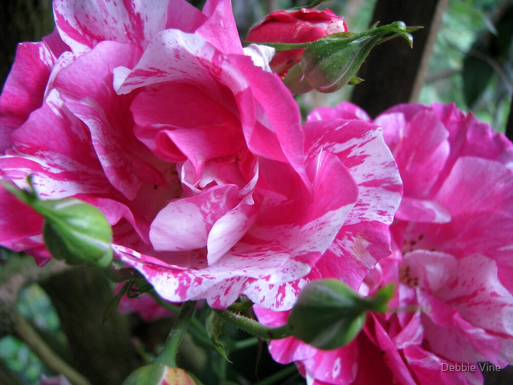 White and Pink roses by Debbie Vine