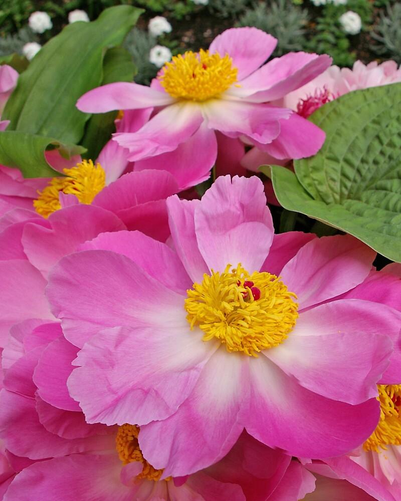 More Pink Peonies by Tom  Reynen