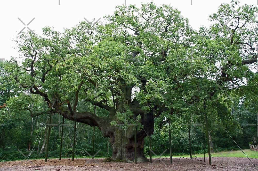 The Major Oak by Steven Guy