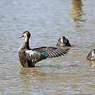 Pacific Black Duck (660) by Emmy Silvius