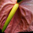 The Anthurium by Andi Hardwick