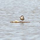 Pink-eared Duck (669) by Emmy Silvius