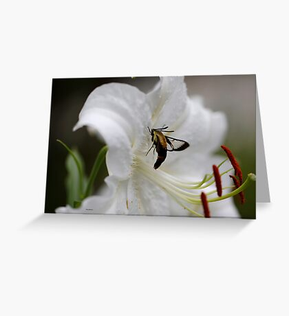 hummingbird moth on lily Greeting Card