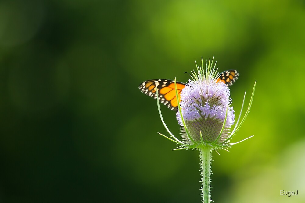 Winged Thistle by EugeJ