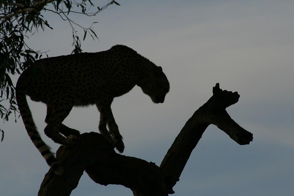 Leopard at twilight by Dan Bradford