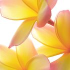 Yellow Frangipani by AnnieD