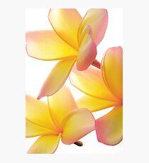Yellow Frangipani Photographic Print