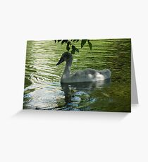 Cygnet (Baby Swan) Greeting Card