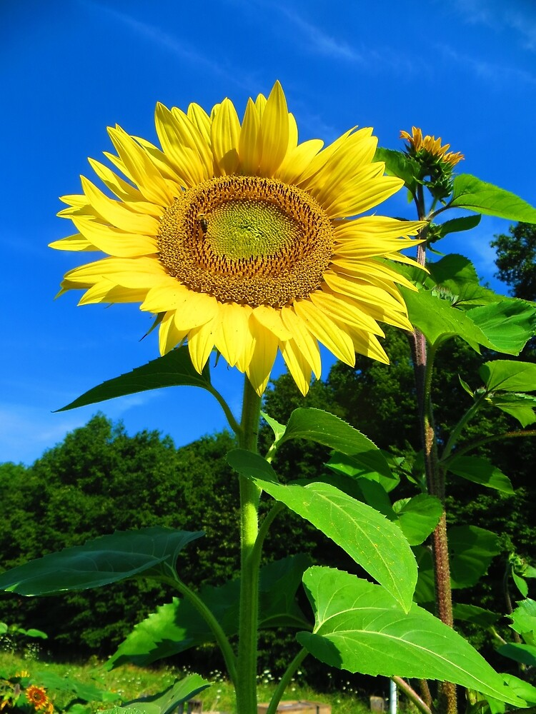 Bright Yellow Sunflower Against Blue Sky by Annelise Wallie