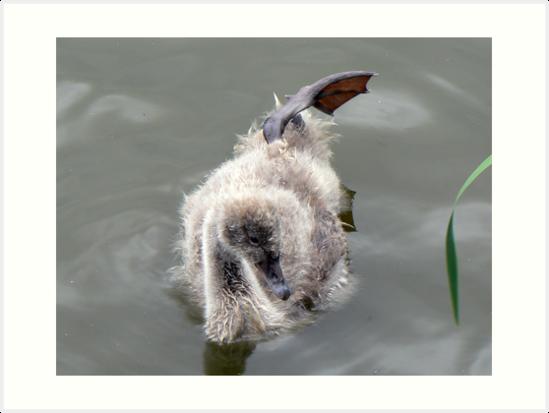 A Black Swan Cygnet by AARDVARK